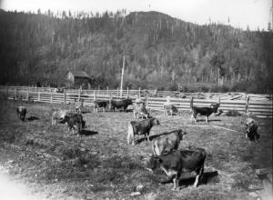 Aitchletz jersey cows